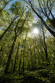 Beech forest in the spring — Stock Photo