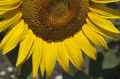 Sunflower and bee — Stockfoto