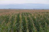 Corn in rows — Stock Photo