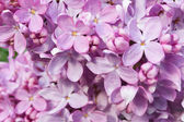 Lilac close-up background — Stock Photo