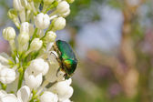 Beetle on lilac blossoms — Stock Photo