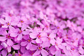 Pink flowers close-up background — Stock Photo