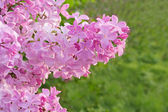 Lilac cluster — Stock Photo