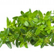Stock Photo: Summer savory