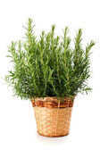 Rosemary plant in vase — Stock Photo
