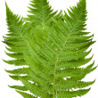Stock Photo: Ferns group