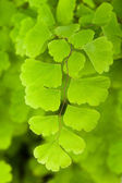 Maidenhair — Stock Photo
