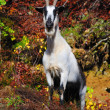 Stock Photo: Alpine goat