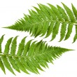 Ferns sprig — Stock Photo #9971131