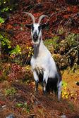 Alpine geit — Stockfoto