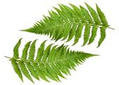Ferns sprig — Stock Photo