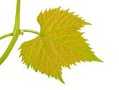 Vine-leaf — Stock Photo