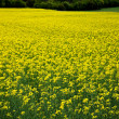 Oilseed rape plants — Stock Photo