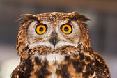 Nocturnal bird of prey provided in good vision — Stock Photo