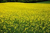 Oilseed rape plants — Stock Photo