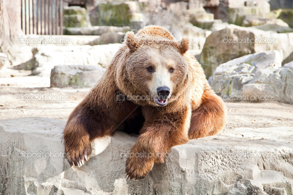 Adult brown bear resting after eating — Stock Photo #9763653