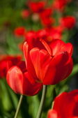 Red Tulip flowers in the garden — Stock Photo