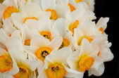 White Narcissus with black background — Stock Photo