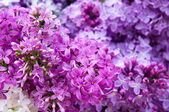 Macro photo of lilac blossoms — Stock Photo