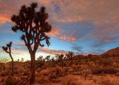 Joshua Tree Sunset — Stock Photo