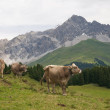 Cows in the swiss alps — Stock Photo #10031623