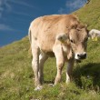Cows in the swiss alps - Foto Stock