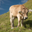 Cows in the swiss alps - Stock Photo