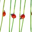 Collection of lady bugs on flora against white background — Stock Photo #10035336