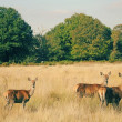 Deer in richmond park, london — Stock Photo