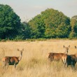 Stock Photo: Deer in richmond park, london
