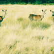 Deer in richmond park, london - Stock Photo