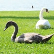 Young swan and its mother on a lawn — Stock Photo