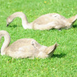 Two young swans eating on a lawn - Stock Photo