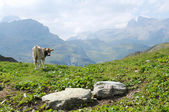 A grazing cow in the swiss alps — Zdjęcie stockowe
