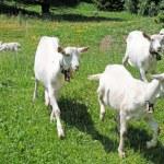 pocos jóvenes cabras en los Alpes suizos — Foto de Stock