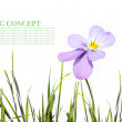 Young purple flowers against white background — Stock Photo