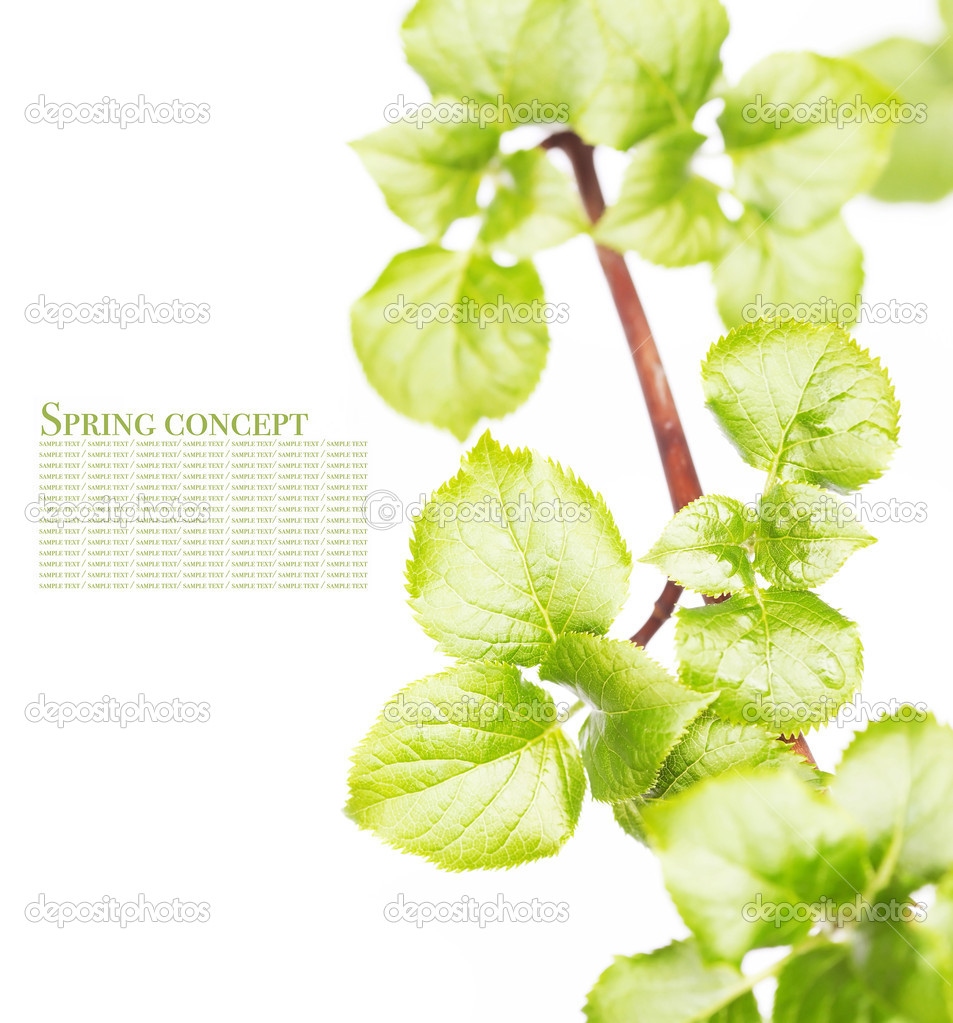 Young green leaves over white background   Stock Photo #10134371