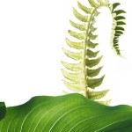 Unfolding fern leaf against white background — Stock Photo #10149652