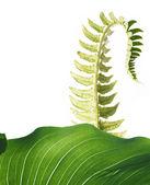 Unfolding fern leaf against white background — Stock Photo