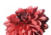 Close-up of a lovely red flower against white background — Stock Photo