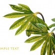 Young green leaves against white background and plenty of space for text — Stock Photo #10400282