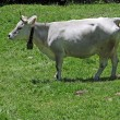 A cow in profile — Stock Photo #10401285