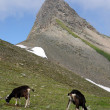 Grazing goats in the swiss alps - Stock Photo
