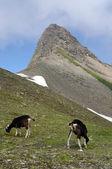 Capre al pascolo nelle alpi svizzere — Foto Stock
