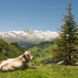Alpine landscape with cow — Stock Photo