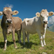 Stock Photo: Swiss Cows
