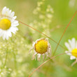Daisies - Foto Stock