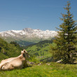 Resting cow in alpine landscape — Stock fotografie