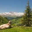 Resting cow in alpine landscape — Stock Photo #9955558