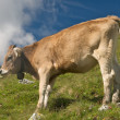 Grazing cows in the swiss alps — Stock Photo #9955660